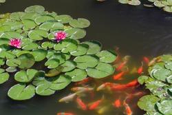 Pond with goldfish or Golden carp Japanese name-koi fish, Nishikigoi, Cyprinus carpio haematopterus in the pond, close-up of koi fish. Japan.