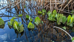 pond with grean leafs and sticks