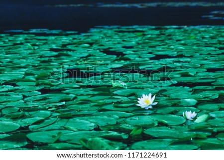 Pond with water lily flowers or white lotus in blooming season. Beautiful white flower with green leaf on lake surface. Waterlilies floating on a river landscape.