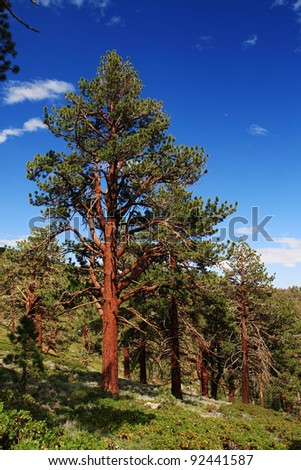 Ponderosa Pine tree on the eastern slope of the Sierra Nevada Mountains