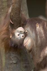 Pongo pygmaeus, Orang-utang, with young