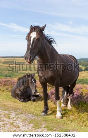 Ponies on the Quantocks Somerset England with purple heather