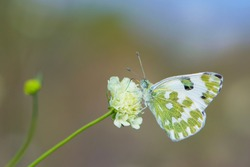 Pontia edusa. Small white butterfly, on a wildflower. Beautiful butterfly in the meadow. delicate white butterfly on Knautia arvensis Wallgrange. bokeh, close-up, blurred background, soft focus