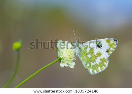 Pontia edusa. Small white butterfly, on a wildflower. Beautiful butterfly in the meadow. delicate white butterfly on Knautia arvensis Wallgrange. bokeh, close-up, blurred background, soft focus Photo stock ©