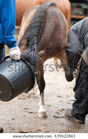 Pony being distracted with food so she behaves for the farrier