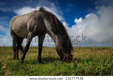 Pony grazing on farmland near the beach in North Uist, Outer Hebrides