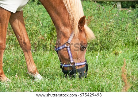 Pony happily eating on a grass covered field with the use of a grazing muzzle. #675429493