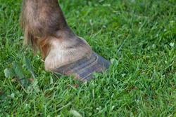 Pony hoof with laminitis rings