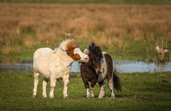Pony love. Shetland ponies playing at the meadows of Limburg, the Netherlands.