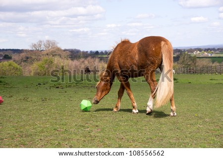 Pony playing with treat toy