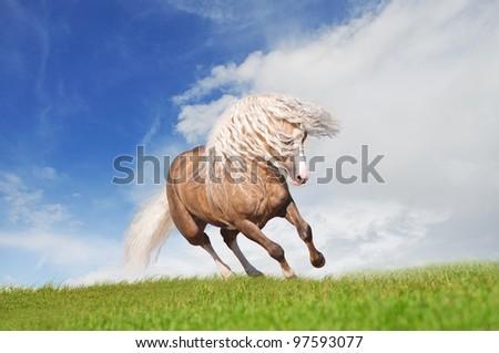pony runs free in the field