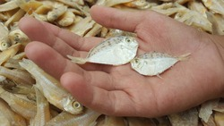 ponyfishes, slipmouths,slimys or slimies salted fish that is drying in the sun