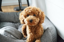 Poodle Dog Cute. Sitting. Toy.