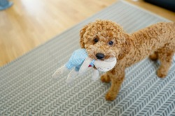 Poodle Dog Cute. Sitting. Toy. Standing. With Toy. Playful. Teddy. Fur. Bear.