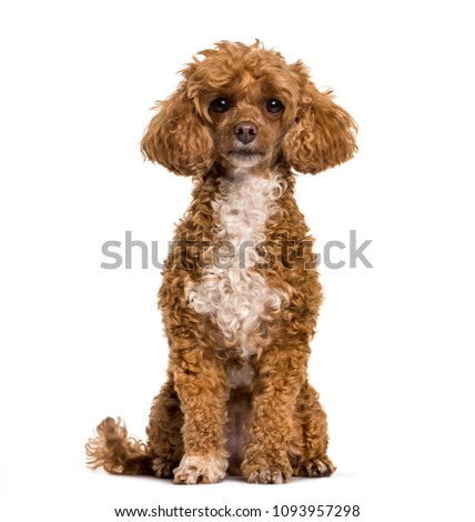 Poodle dog sitting and looking at camera against white background