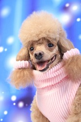 Poodle dog wearing pink sweater on winter background.Dog with ears  fashion pink ribbon.Smiling dog on snow backdrop.Senior poodle tongue out.