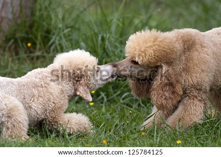 Poodle dogs fighting in the grass
