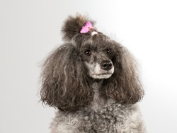 Poodle portait. Poodle is wearing a pink hair bow. Image taken in a studio.