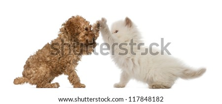 Poodle Puppy and British Longhair Kitten high fiving against white background