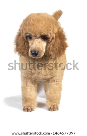 Poodle puppy apricot color stands and looks away. #1464577397