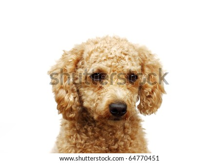 Poodle puppy isolated on white