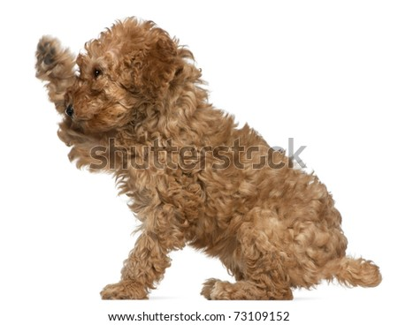 Poodle puppy, 2 months old, with paw up sitting in front of white background