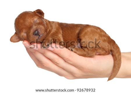 Poodle puppy (one week) sleep in hand. Closeup portrait series over white background