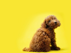 poodle toy puppy brown smile sitting on the floor isolated yellow background