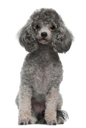 Poodle, 4 years old, sitting in front of white background