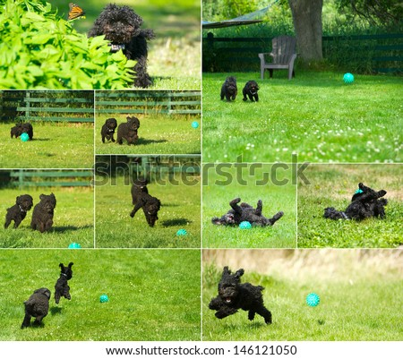 stock-photo-poodles-humorous-collage-with-an-adorable-miniature-poodle-and-his-adopted-toy-poodle-brother-146121050.jpg