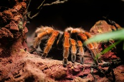 Pooh, a dangerous venomous spider with red legs enters the hole, sits on the ground.
