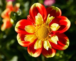 Pooh dahlia, captured at Swan Island Dahlias, in Canby, Oregon.