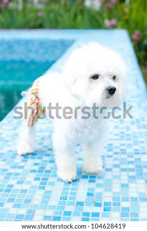 Pool loving maltese - stock photo