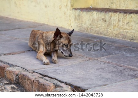 Poor, unwanted, homeless dog in the Streets of Old City of Trinidad, Cuba, during a sunny day. #1442043728
