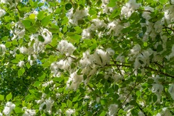 Poplar fluff is not to blame for allergies; it's more a nuisance than a health hazard. He is going to snow drifts. An ideal urban tree, it absorbed four times more carbon dioxide than other species