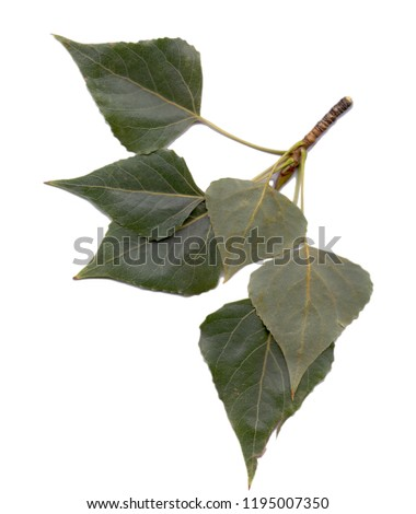 Poplar leaves - an isolated object on a white background. Use printed materials, signs, objects, websites, maps, posters, postcards, packaging. #1195007350
