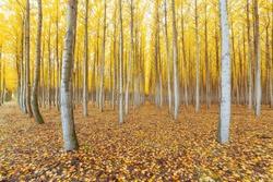 Poplar tree farm in Boardman Northeastern Oregon during fall season