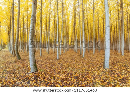 Poplar tree farm in Boardman Northeastern Oregon during fall season