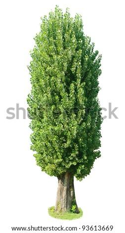 poplar tree. Isolated over white background .