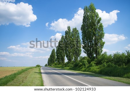 Poplar trees by the empty road