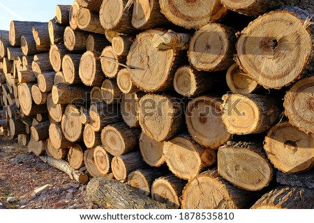 Poplar trees cut for timber, poplar trees for large amounts of timber, Timber trade, poplar wood for carpenters,