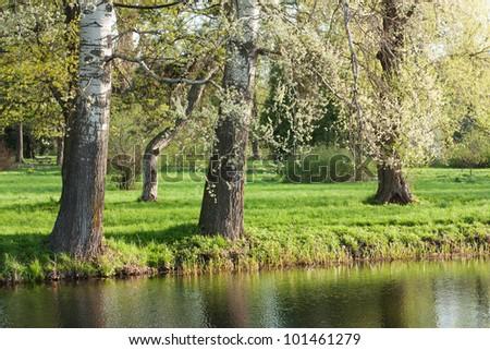 Poplars in the morning light. Landscape. Spring