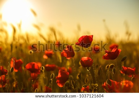 poppies at sunset, poppy field
