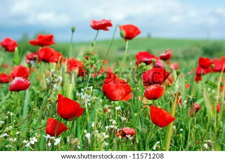Poppies background in field.