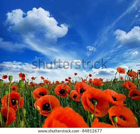 poppies blooming in the wild meadow high in the mountains