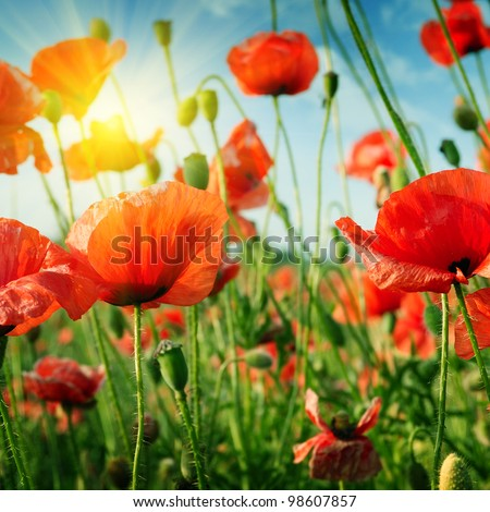 poppies field in rays sun - stock photo
