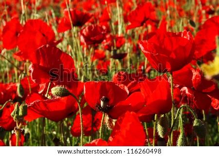 Poppies field in Spain - stock photo