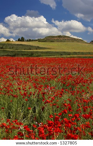 Poppies field with a blue sky