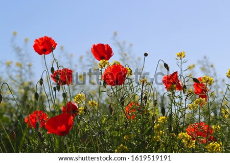 Poppies flowering Latin papaver rhoeas with the light behind in Italy in Springtime a remembrance flower for war dead and veterans November 11, Anzac Day, April 25, VE day, VJ day and remembrance days