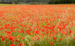 Poppies in a field at Roussillon, Roussillon, Vaucluse, Provence-Alpes-Côte d'Azur, France